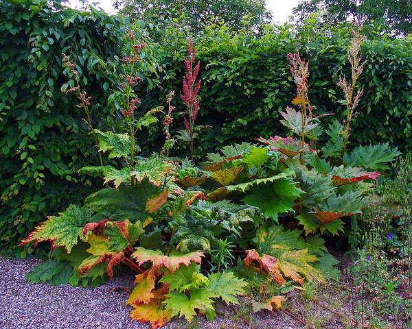 A picture of a Ornamental Rhubarb