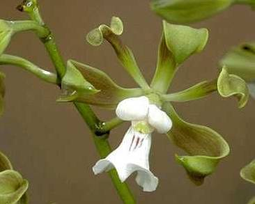 A picture of a Encyclia