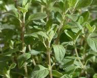 A photo of Sweet Marjoram