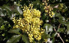 A photo of Oregon Grape 'Atropurpurea'