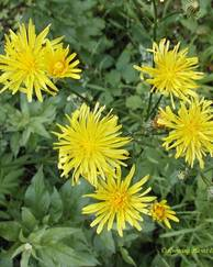 A photo of Hawkweed ox-tongue