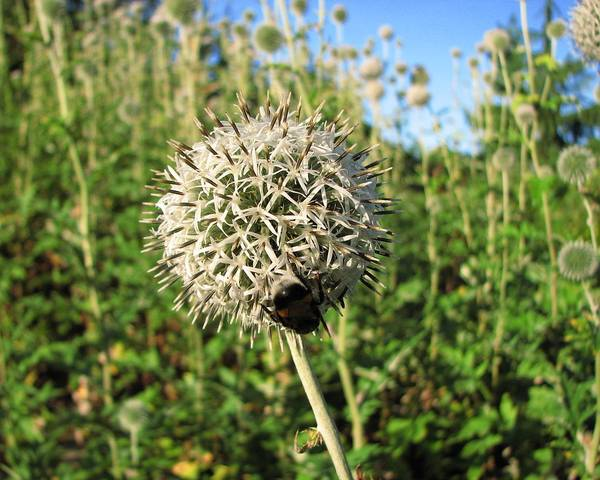 A picture of a Pale Globe Thistle