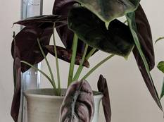 A pot of Alocasia cuprea with purple green leaves