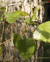 A photo of Poplar Tree