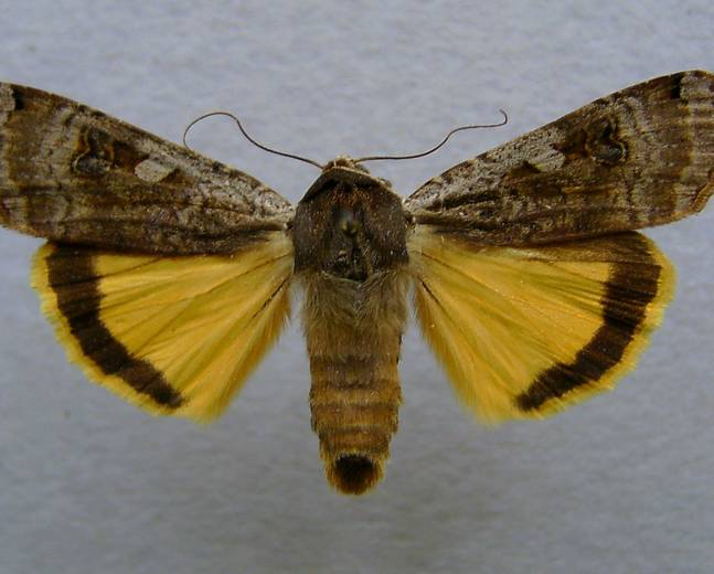 A close up image of a European Yellow Underwing Moth Noctua pronuba against a white background