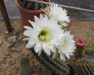 Echinopsis candicans (7)