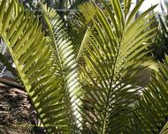 A photo of Natal Giant Cycad