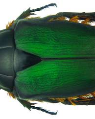 A photo of Green Protea Beetle