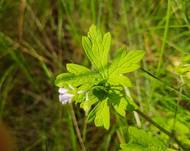 A photo of Geranium solanderi