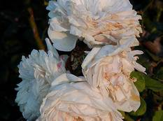 A close up of some white pink Rosa 'Sombreuil' double flowers