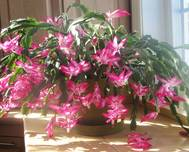A photo of Holiday Cactus