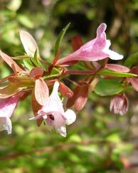 A photo of Abelia Schumannii