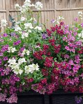 Nemesia - 50 seeds - perennial mixed, poetry, karoo, wisley vanilla and others