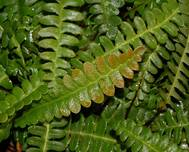 A photo of Hard fern