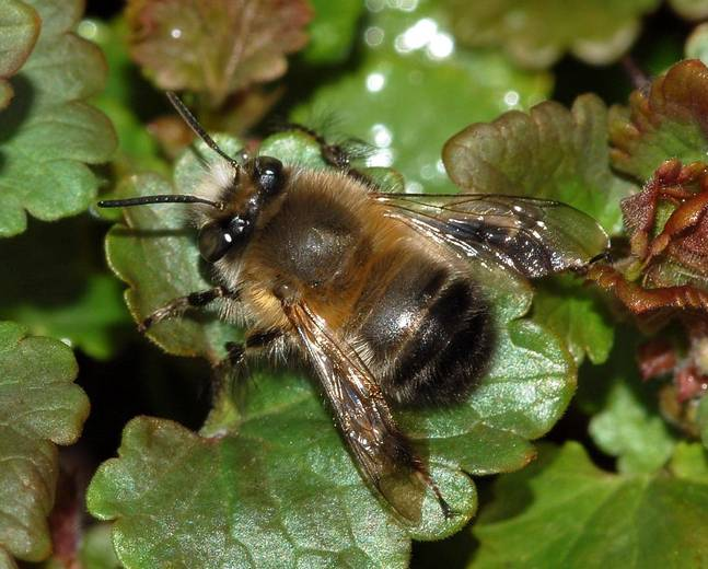 A close up of a Anthophora plumipes on a leaf