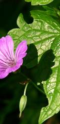 A photo of Knotted Cranesbill