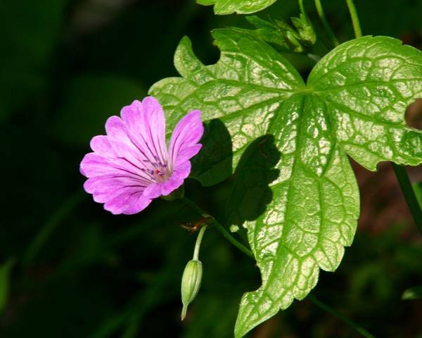 A picture of a Knotted Cranesbill