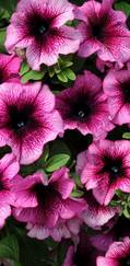 A photo of Petunia 'Fanfare'
