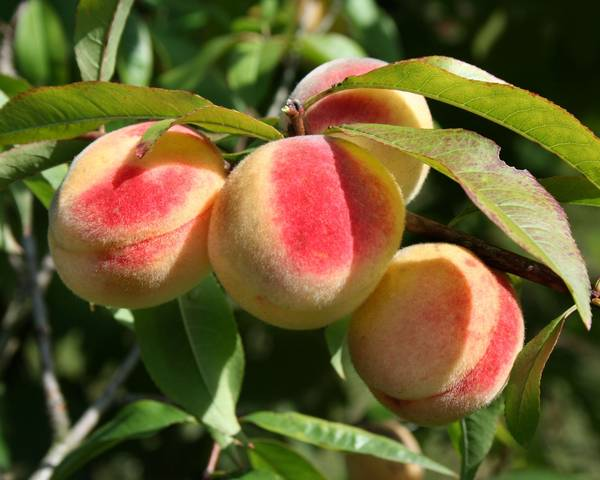 A picture of a Peach 'Summer Giant'