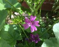 A photo of Common Mallow