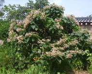 Clerodendrum trichotomum 01
