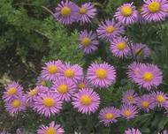 A photo of Alpine Aster