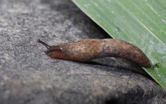 A photo of Field Slug