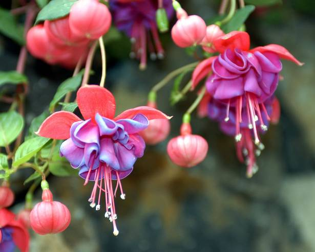 Types Of Fuchsias Discover Candide Gardening