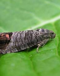A photo of Codling Moth
