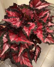 Begonia Rex Inca night free delivery