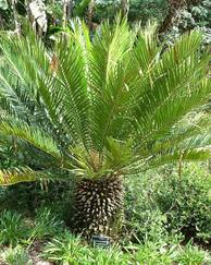 A photo of Cycad
