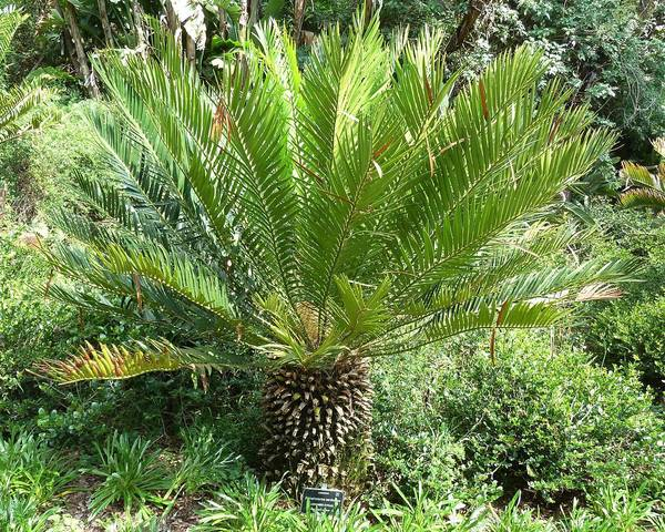 A picture of a Cycad