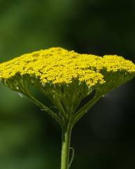 A photo of Yarrow 'Coronation Gold'