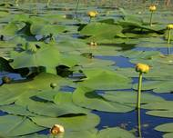 A photo of Nuphar