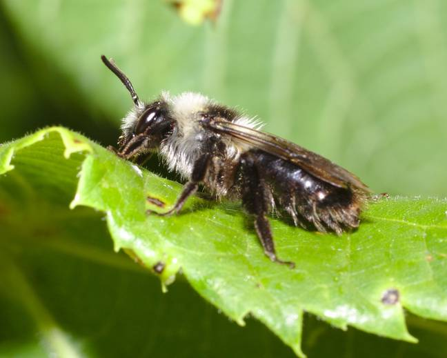 A close up of a mining bee belonging to Andrena genus on a leaf