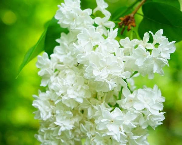 A picture of a Lilac