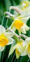 A photo of Common Daffodil