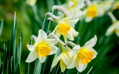 A photo of Wild Daffodil