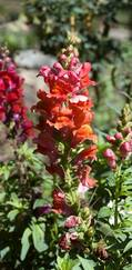 A photo of Snapdragon