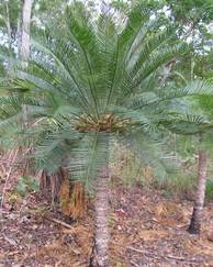 A photo of Cycas