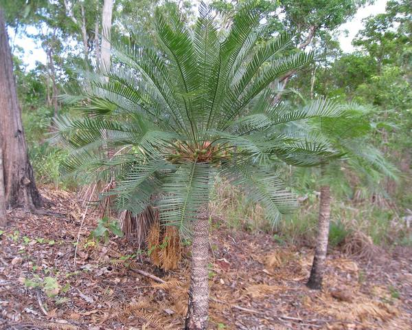 A picture of a Cycas