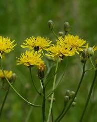 A photo of Hawksbeard