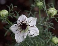 A photo of Love-in-a-Mist