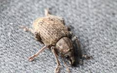 Banded Fruit Weevil