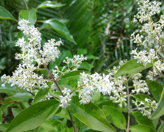 A close up of some white Ligustrum sinense flowers and green leaves