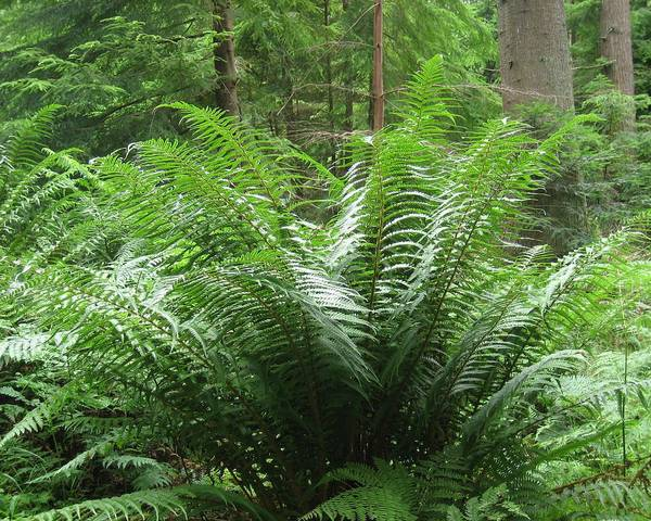 A picture of a Wood Fern