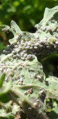 A photo of Cabbage Aphid