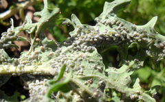 A photo of Cabbage Aphids