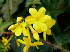 Some yellow Jasminum nudiflorum flowers on a plant
