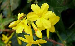 A photo of Winter Jasmine